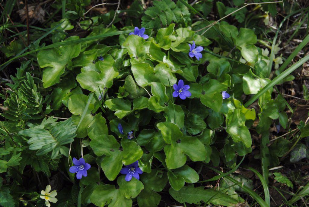 Hepatica-nobilis,-l'erba-trinità